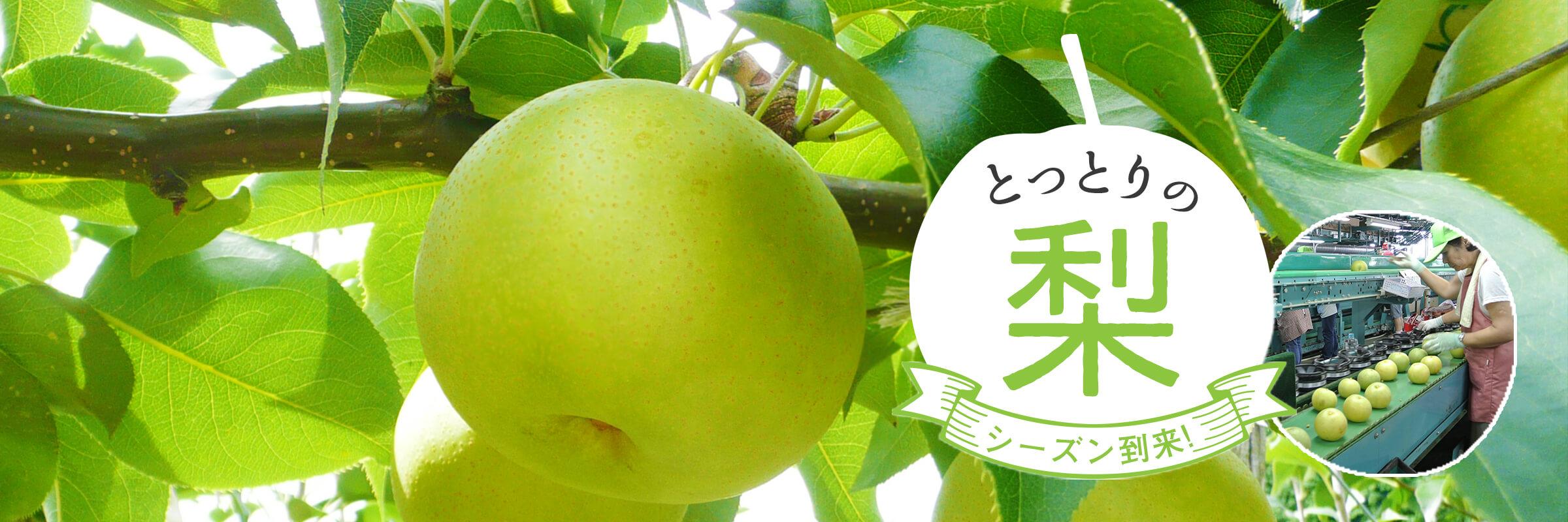 鳥取の梨シーズン到来!