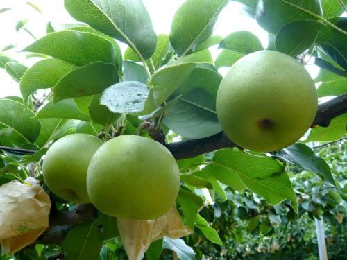 梨狩り体験