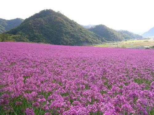 鳥取砂丘らっきょうの花