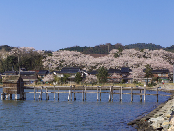 東郷池周辺の桜