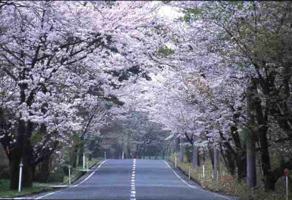 大山・萩原の桜並木