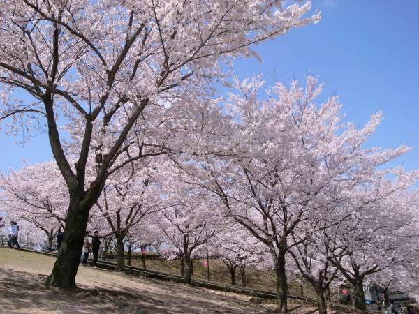 因幡千本桜「桜の園」