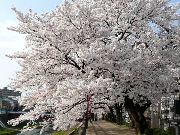 袋川沿い土手桜並木