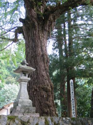 大石見神社オハツキタイコイチョウ
