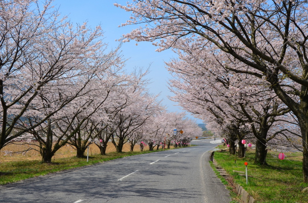 大山・豊房桜並木