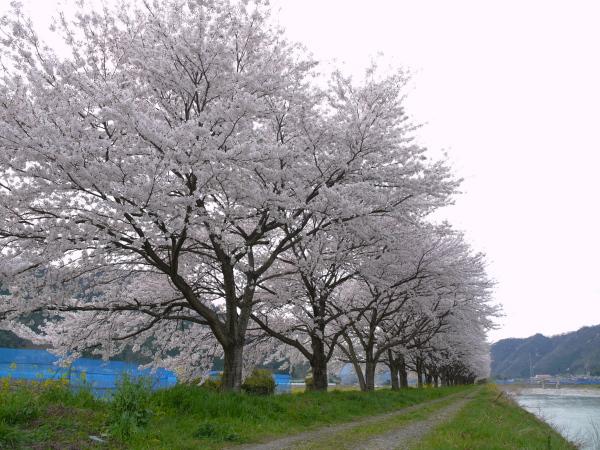 安部橋下流桜並木