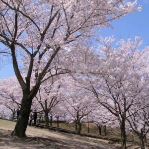 因幡千本桜(桜の園)