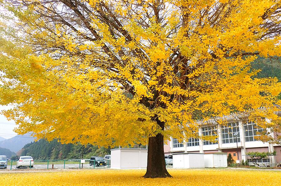 ◆旧日野上小学校大イチョウ