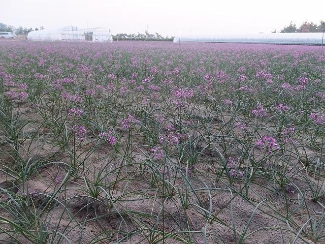 北栄町 らっきょうの花