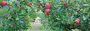 はっとうフルーツ観光園(梨・りんご狩り)