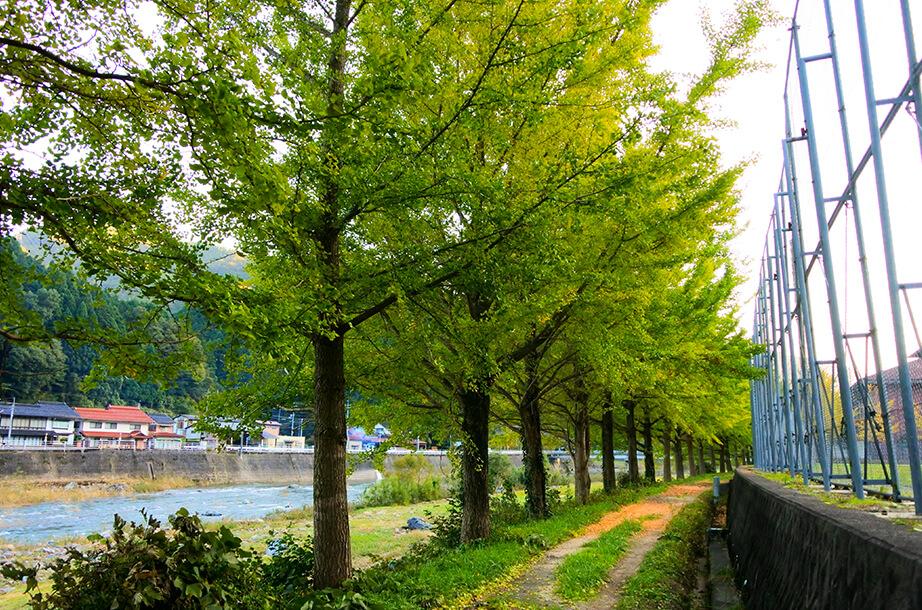日野川沿い銀杏並木