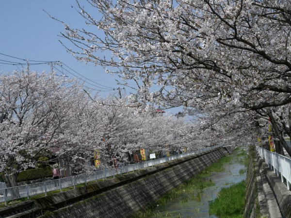 会下谷川の桜並木