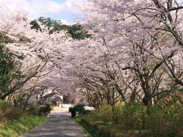 東郷湖周辺の桜