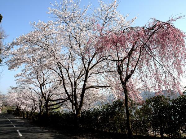 あやめ池周辺の桜